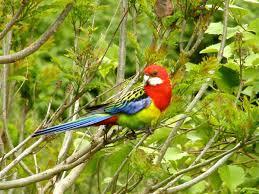 native plants of nz eastern rosella new zealand birds online