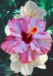 hibiscus when my nephew was small he asked the name and