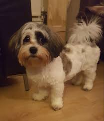 how to cut a shichon s hair 91 best shichons images on pinterest teddy bear cubs and doggies