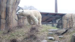 Lincoln Park Zoo Holiday Lights by Lincoln Park Zoo Welcomes Female Polar Bear Chicago Tribune