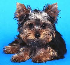 pictures of puppy haircuts for yorkie dogs the long and the short of coat styles for your yorkshire terrier