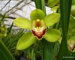 cymbidium orchid cymbidium orchid cymbidium orchid 1024 x 768 cymbidium orchid