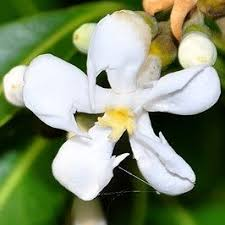 Fragrant Tropical Plants - 813 best fragrant balcony plants images on pinterest balcony