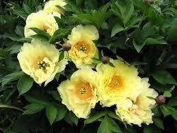 yellow peonies ideas of yellow peony flower pics yellow peony flower