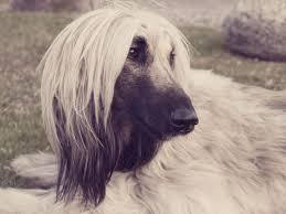 afghan hound grooming styles afghan hound breed info and care