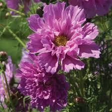 cosmos seeds double click rose bon bon cosmos bipinnatus 25