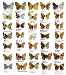 butterfly facts photos and posters on the