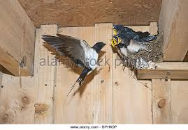 Barn Swallow Nest Pictures Barn Swallow Stock Photos U0026 Barn Swallow Stock Images