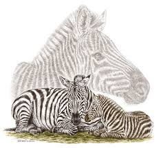 mom and baby zebra art drawing by kelli swan