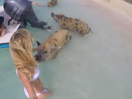 swimming pigs of the bahamas how to see them