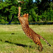 savannah cats have the largest back legs of most cats the back
