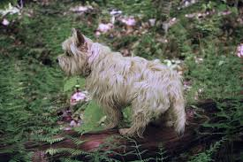 jeter 5 31 17 cairn terriers terrier and dog