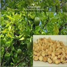 bael fruits tree seeds aegle marmelos buy fruits seeds tree