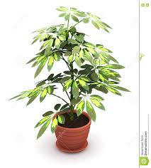 schefflera arboricola plant in flower pot stock illustration