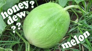 honeydew melons honey dew green melon fruit growing fruits