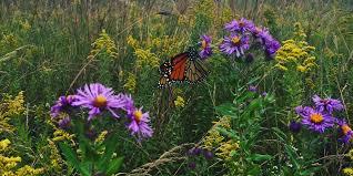 iowa native plants turning iowa farmland into butterfly bee habitat