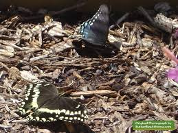 palamedes swallowtail butterfly lower left and spicebush