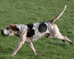 bluetick coonhound gascon english foxhound grooming bathing and care espree animal products