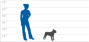 belgian sheepdog size and weight boston terrier dog breed explore our dog breed selector