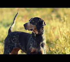 bluetick coonhound apparel 51 best bluetick coonhound images on pinterest bluetick
