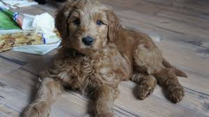 australian shepherd labradoodle labradoodle puppy pricing and more valley vineyard labradoodles