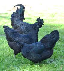 indonesia u0027s jet black chickens are the dark side of poultry munchies