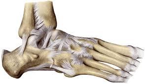 Anterior Fibular Ligament Anatomyexpert Anterior Talofibular Ligament Structure Detail