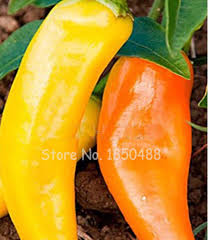 high quality indoor pepper plant promotion shop for high quality