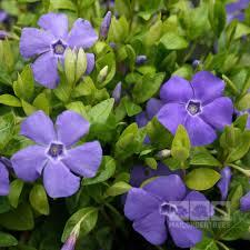 vinca flowers vinca minor bowles variety lesser periwinkle la grave mail