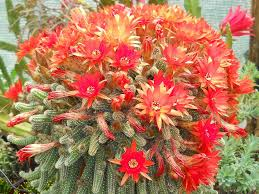 flowering wonderfull flowering cactus types with beautiful pink