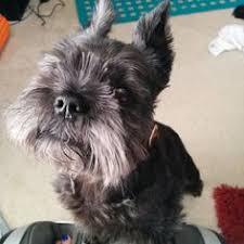 affenpinscher rescue seattle affenpinscher kuro waiting my puppies pinterest