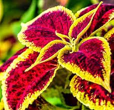 How To Grow Coleus Plants by Coleus Plant Care How To Grow Coleus Plant