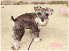 schnauzers hair cuts pin by jill diaz on hun pinterest dog and animal