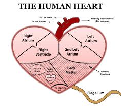 circulatory system diagram worksheet human anatomy chart