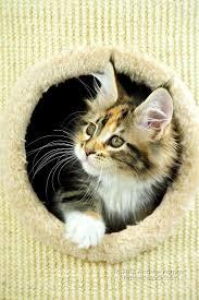 telecharger bureau maine coon chats de papier peint maine coon télécharger fonds