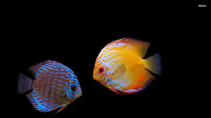 pretty wallpapers for desktop free tropical fish wallpapers group 77