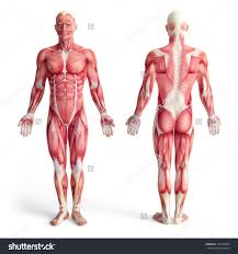 Body Anatomy Back Muscle Anatomy Front And Back Human Anatomy Body