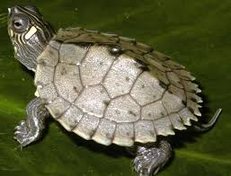 map turtle baby mississippi map turtles graptemys pseudogeographica