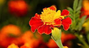 les fleurs comestibles en cuisine le saviez vous on peut manger plus de 250 fleurs