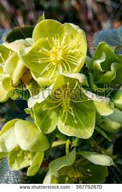 helleborus niger stock images royalty free images vectors