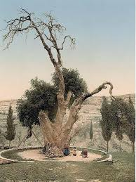 an photochrom print of the oak of mamre which is mentioned in