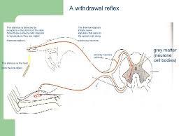 Describe A Reflex Action Spinal Reflexes
