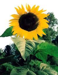 how to grow giant sunflower plants giant sunflower seeds