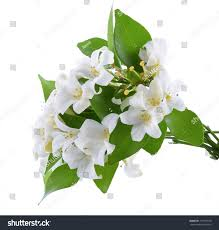 murraya paniculata large orange jasmine murraya paniculata stock photo 717869140 shutterstock