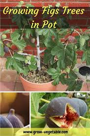 top 25 best trees in pots ideas on pinterest potted trees