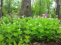 american beauties native plants sweet woodruff asperula odorata overview health benefits side