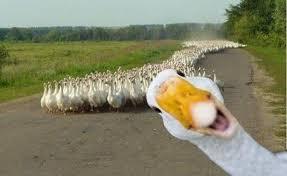 Meme Duck - duck photobomb meme by darkbever memedroid