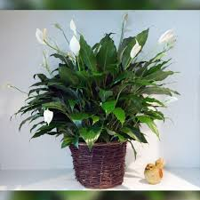 peace lilly peace plant in hingham ma hingham greenery