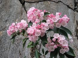 kalmia latifolia kalmia szerokolistna u2013 wikipedia wolna encyklopedia