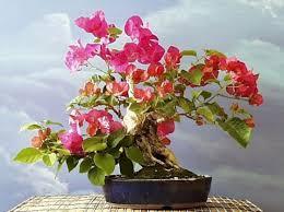 Bougainvillea Topiary - artofbonsai org view topic north american entries
